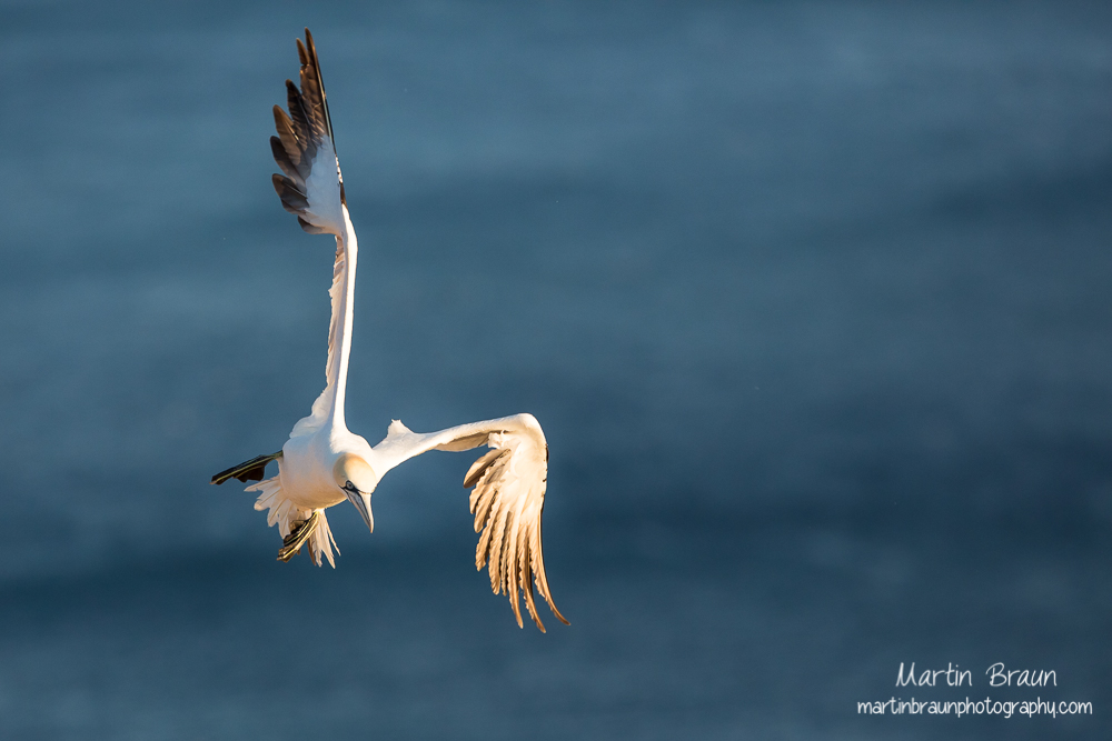 Basstölpel I Northern gannet I Morus bassanus  -- Schleswig-Holstein I Germany I Wildlife
