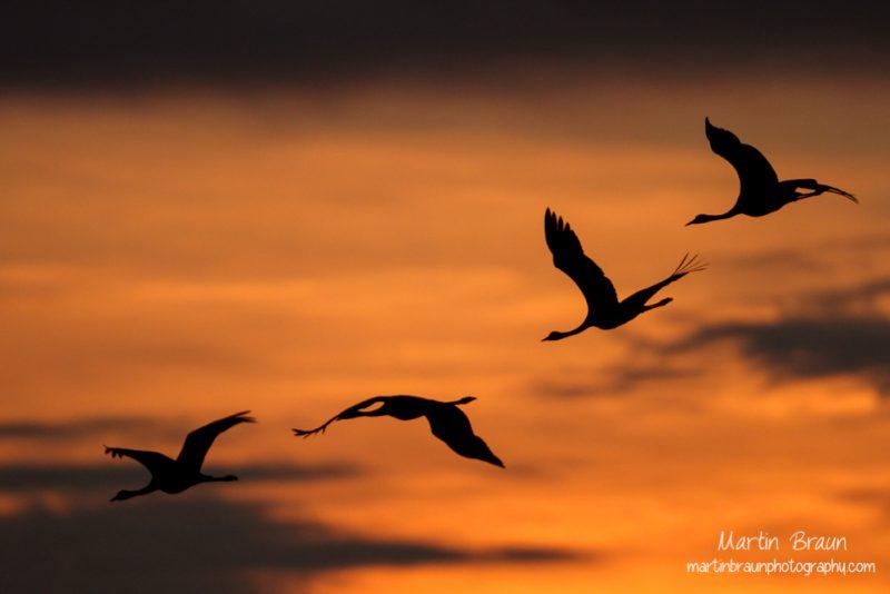 Schreitvögel & Kraniche
