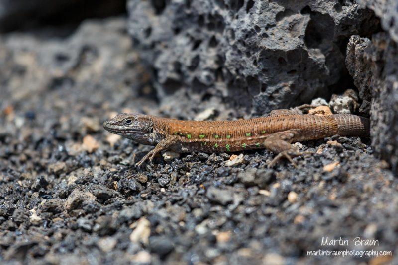 Reptilien Afrikas
